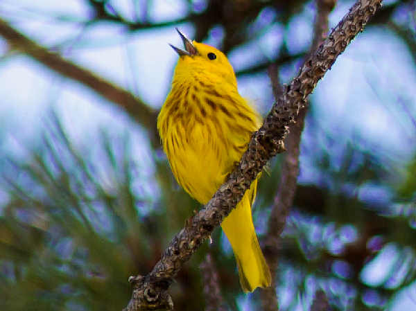 picture of a yellow warbler, one of the breeding birds of Missouri