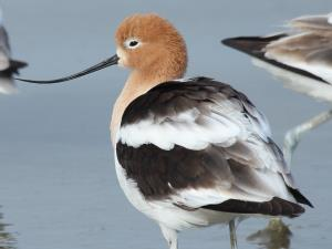picture of an American Avocet