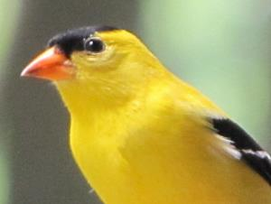 picture of a male American Goldfinch