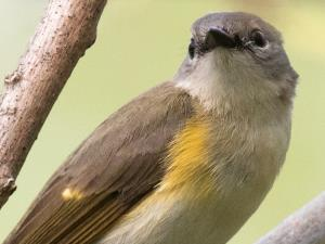 picture of a female American Redstart