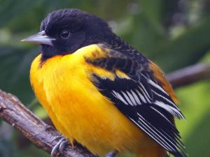picture of a male Baltimore Oriole