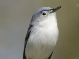 picture of a Blue Gray Gnatcatcher
