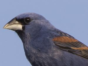 picture of a Blue Grosbeak
