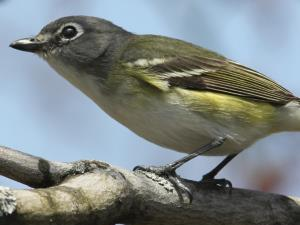 picture of a Blue-headed Vireo