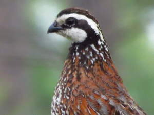 picture of a Bobwhite