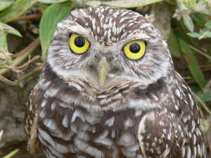 picture of a burrowing owl