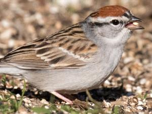 picture of a Chipping Sparrow