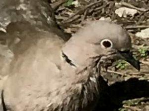 picture of a Collard Dove