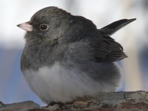 picture of a Dark-eyed Junco