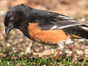 picture of an Eastern Towhee