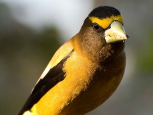 picture of an Evening Grosbeak