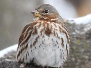 picture of a Fox Sparrow
