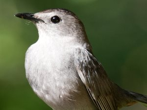 picture of a Gray Catbird