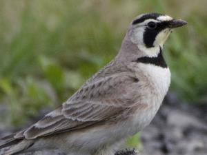 picture of a Horned Lark