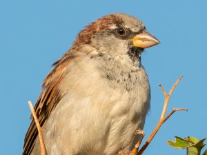picture of a House Sparrow