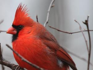 picture of a Northern Cardinal