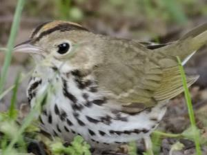 picture of an Ovenbird