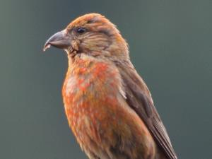 picture of a Red Crossbill