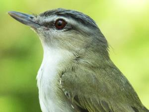 picture of a female Red-eyed Vireo