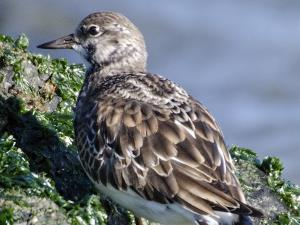 picture of a Ruddy Turnstone