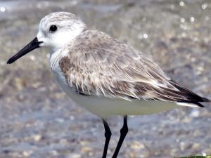 picture of a Sanderling