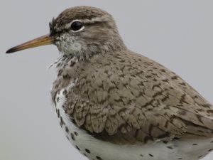 picture of a Spotted Sandpiper