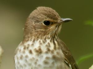 picture of a Swainson's Thrush