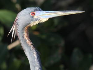 picture of a Tricolored Heron
