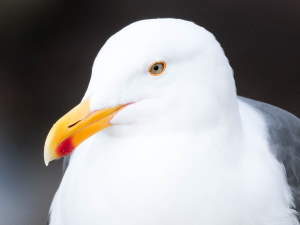 picture of a Western Gull