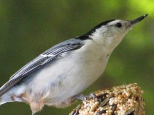picture of a White-breasted Nuthatch