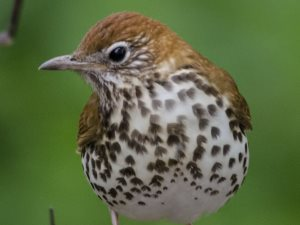 picture of a Wood Thrush