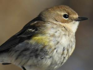 picture of a Yellow-rumped Warbler