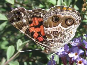 picture of an American Lady butterfly, side view