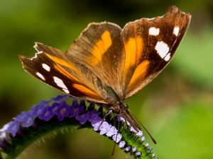 picture of an American Snout butterfly