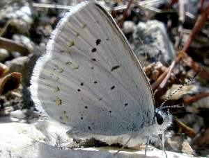 picture of an Anna's Blue butterfly