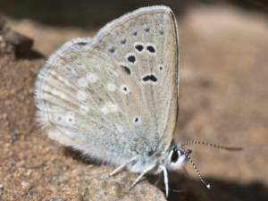picture of a Boisduval's Blue butterfly