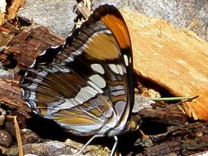 picture of a top view of a California Sister butterfly