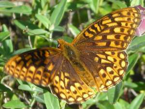 picture of a Callippe Fritillary butterfly