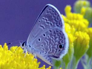 picture of a Ceeranus Blue butterfly
