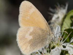 picture of a Common Ringlet butterfly