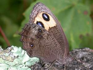 picture of a Common Wood Nymph butterfly