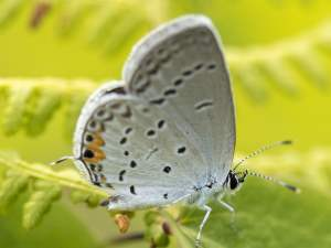 picture of an Eastern Tailed Blue butterfly
