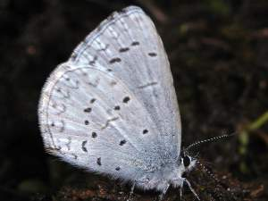 picture of an Echo Blue butterfly