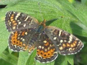 picture of a Field Crescent butterfly