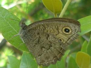 picture of a Great Basin Wood Nymph butterfly