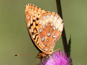 picture of a side view of a Great Spangled Fritillary butterfly