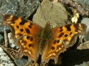 picture of a Green Comma butterfly