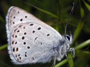 picture of a Greenish Blue butterfly
