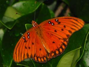 picture of a top view of a Gulf Fritillary butterfly