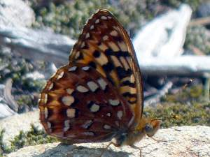 picture of a Hydaspe Fritillary butterfly